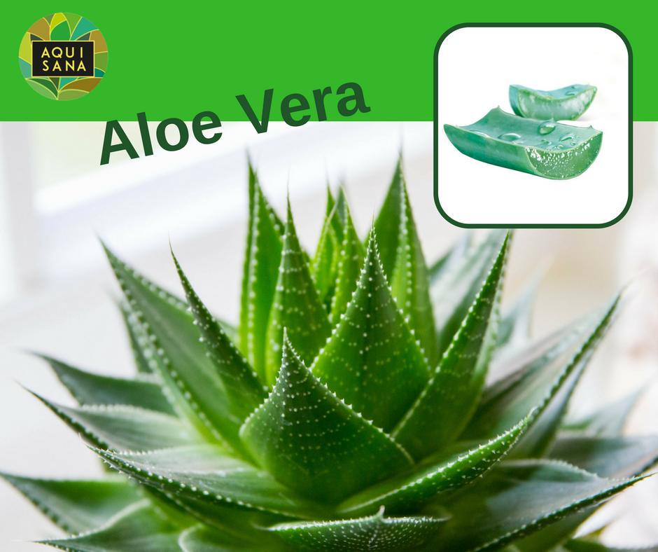 Aloe vera la planta milagrosa aquisana - Como es la planta de aloe vera ...
